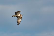 Fischadler-Juli1