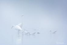 Silberreiher-Nebel5