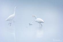 Silberreiher-Nebel2