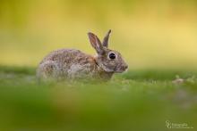 Kaninchen-Mai4
