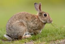 Kaninchen-Mai3