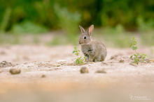 Kaninchen-Mai1