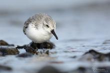 sanderling-mar2