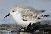 sanderling-mar1