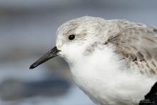 sanderling-mar5