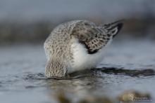 sanderling-mar4