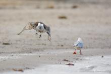 GroßerBrachvogel - Januar 1