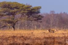 Rehwild in einem Moorgebiet