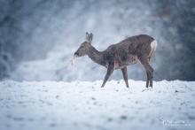 Rehwild im Schnee
