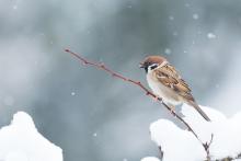 Haussperling im Schnee