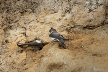 Uferschwalben