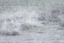 Graugans im April-Schneetreiben