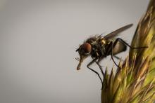 Fliege - Juni