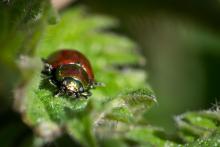 Käfer - Chrysolina polita (Geglätteter Blattkäfer)