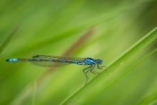 Blaue Jungfer Libelle
