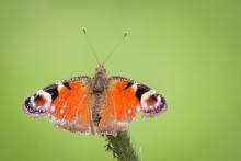 Schmetterling-leicht zerfleddert
