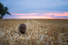 Igel im Feld