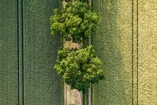 Eichen zwischen Feldern