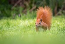 Eichhörnchen - Mai 2