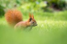 Eichhörnchen - Mai 3