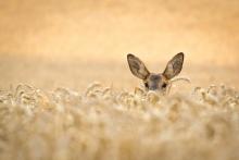 Reh im Weizen_August