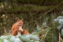 Eichhörnchen am Knochen nagen
