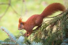 Eichhörnchen März - 2