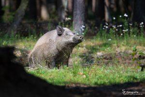 ASP - Wildschwein